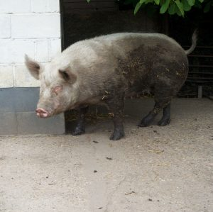 Pigs at Hopefield